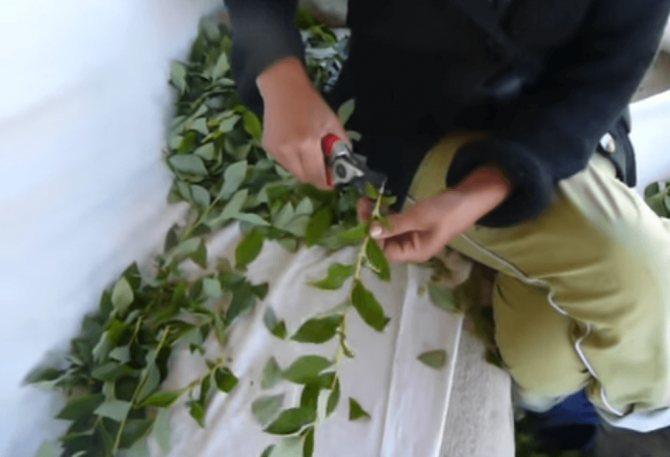 Размножение голубики садовой черенками летом в домашних условиях: преимущества метода, описание процесса черенкования, другие способы