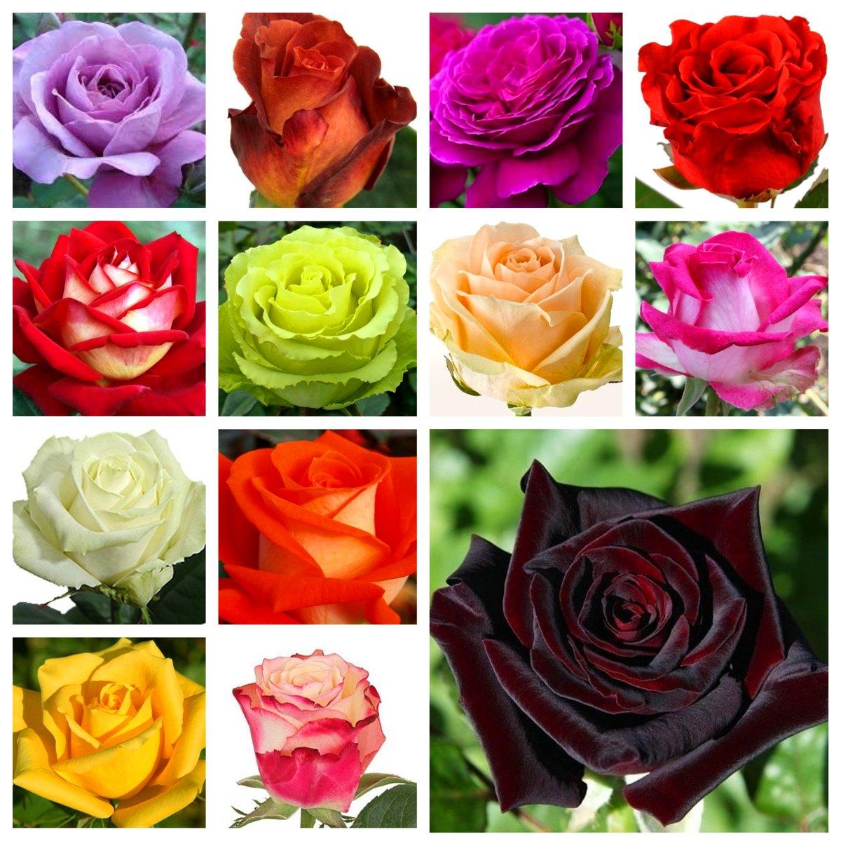 Описание лучших сортов роз: классификация, фото |