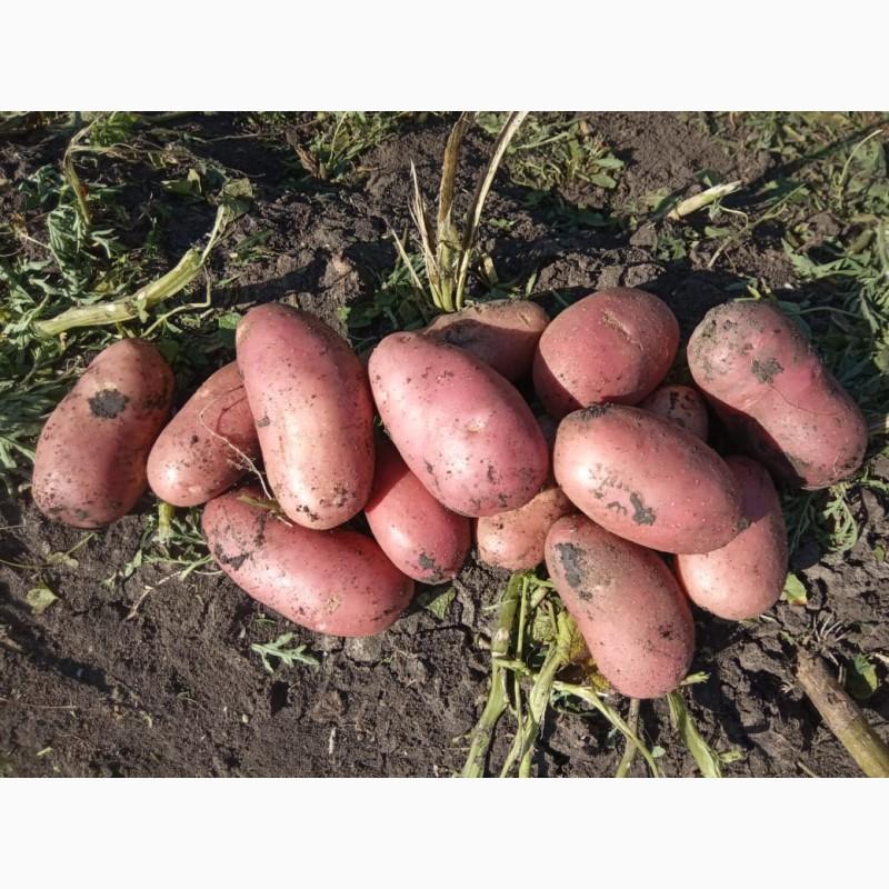 ✅ коломбо: описание семенного сорта картофеля, характеристики, агротехника - tehnomir32.ru