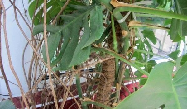 Монстера — необычное «чудовище». уход, выращивание, размножение, виды. фото — ботаничка.ru