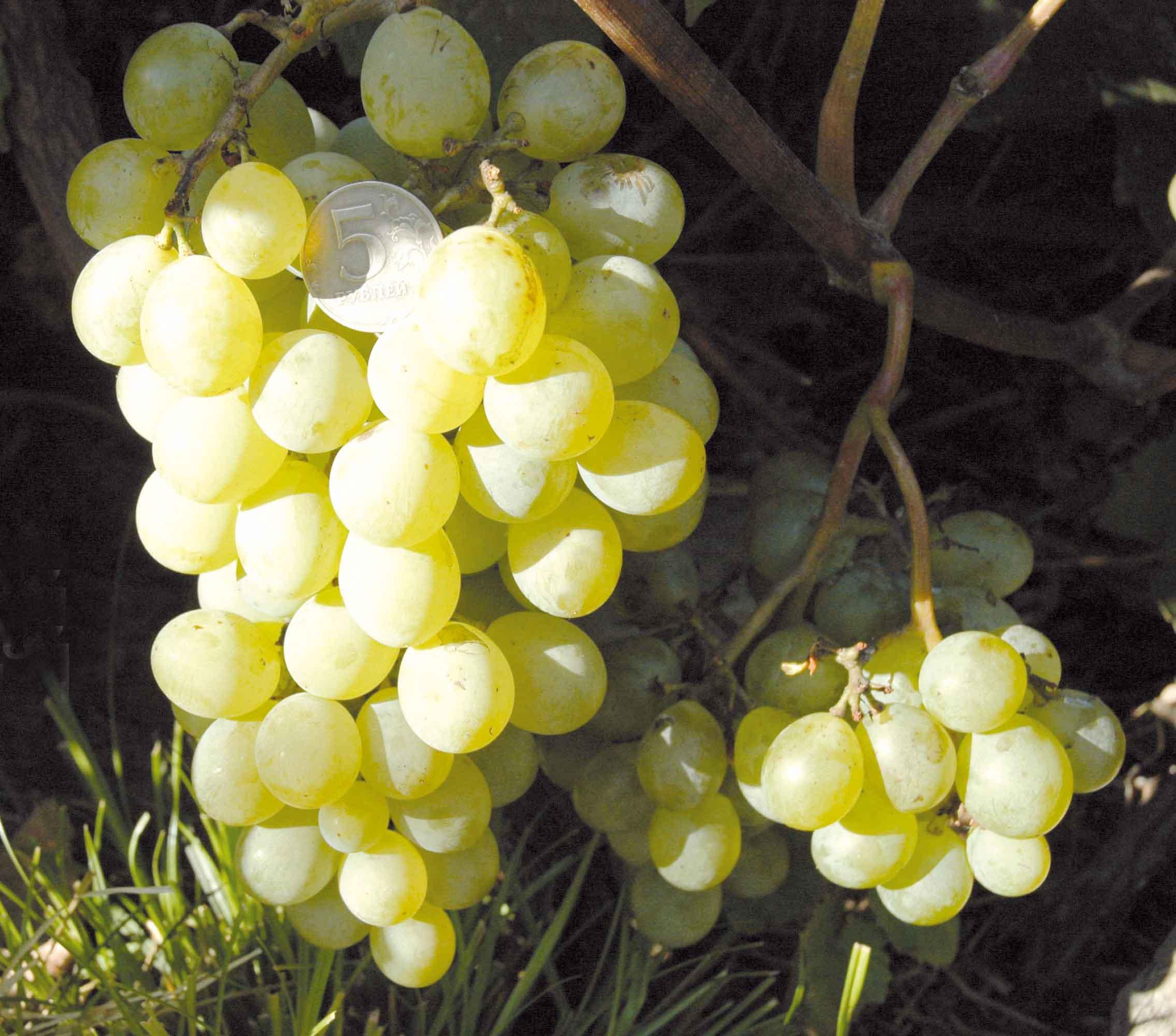 Виноград сорта мускат: характеристика на примере белого и иных видов, их описание и полезные свойства