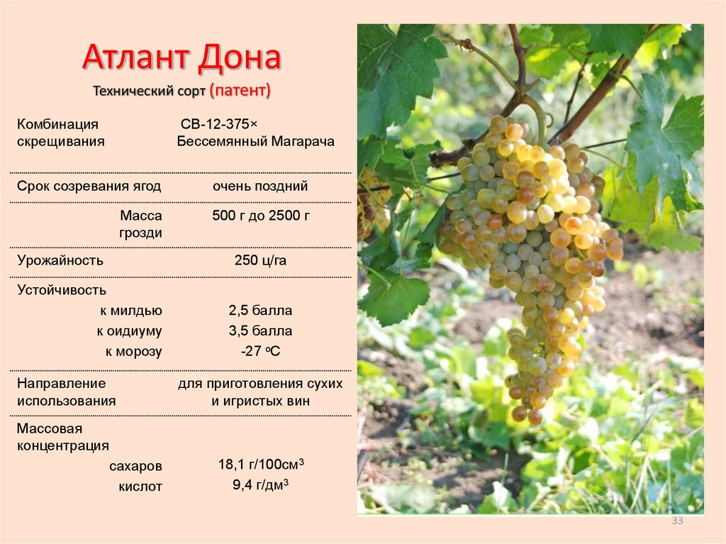 Виноград велюр: описание и характеристики сорта, особенности ухода и фото