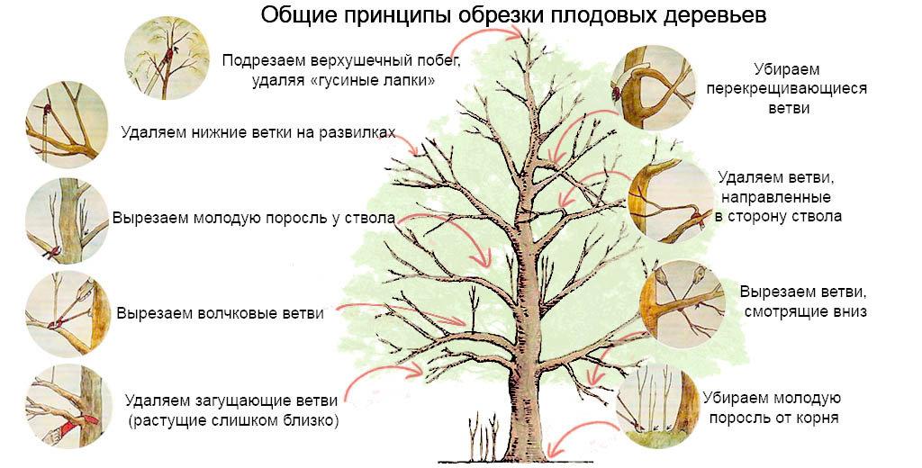 Обрезка и формирование деревьев семечковых и косточковых пород