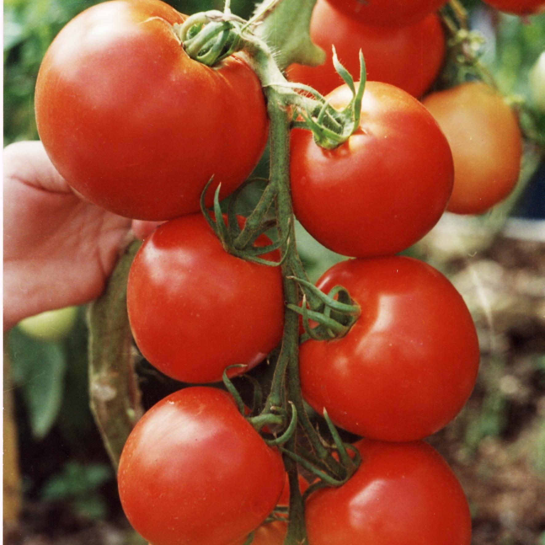 Топ-10 лучших сортов томатов для открытого грунта – рейтинг 2020 года