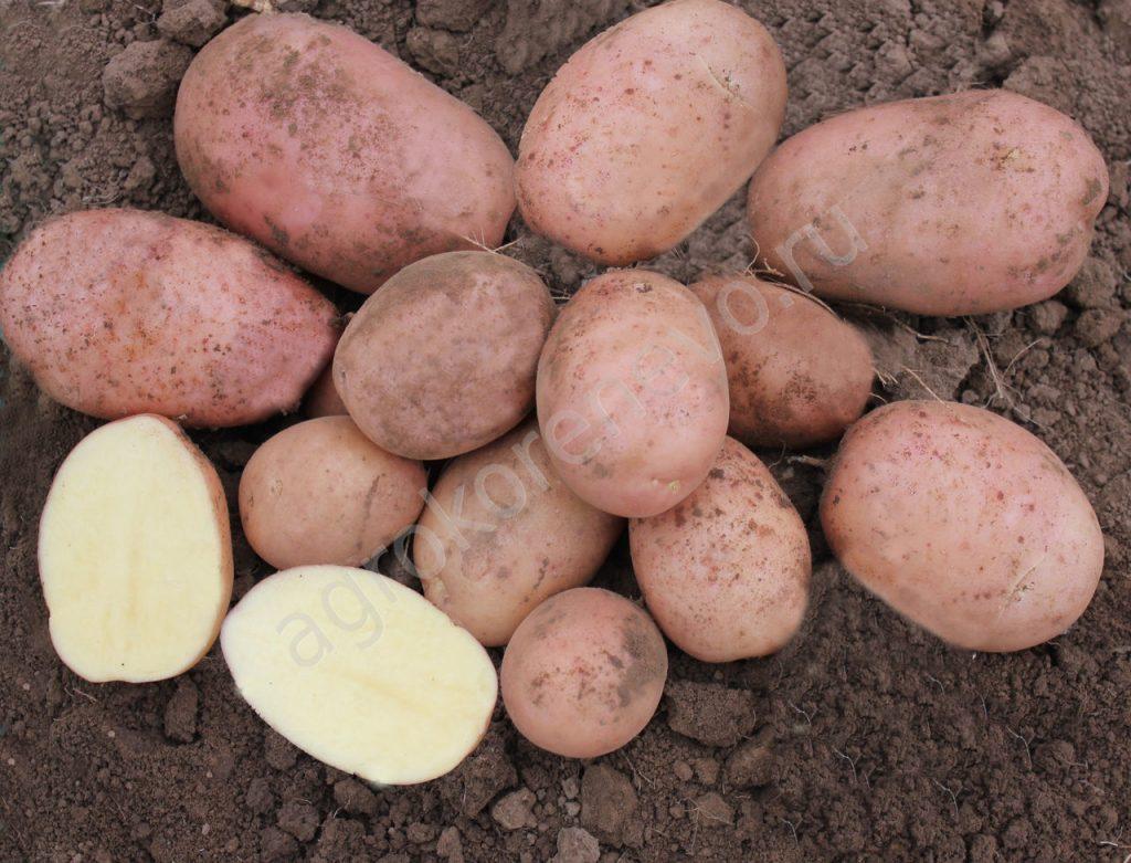 Картофель рогнеда: описание сорта, правила выращивания, фото. сорт картофеля «рогнеда»: характеристика, описание, урожайность, отзывы и фото