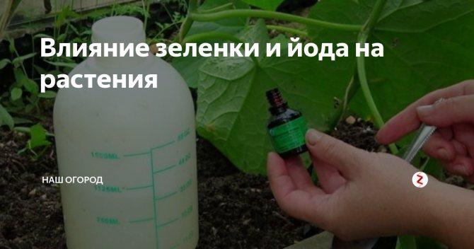 Обработка огурцов зеленкой и йодом, сывороткой в открытом грунте: видео + отзывы