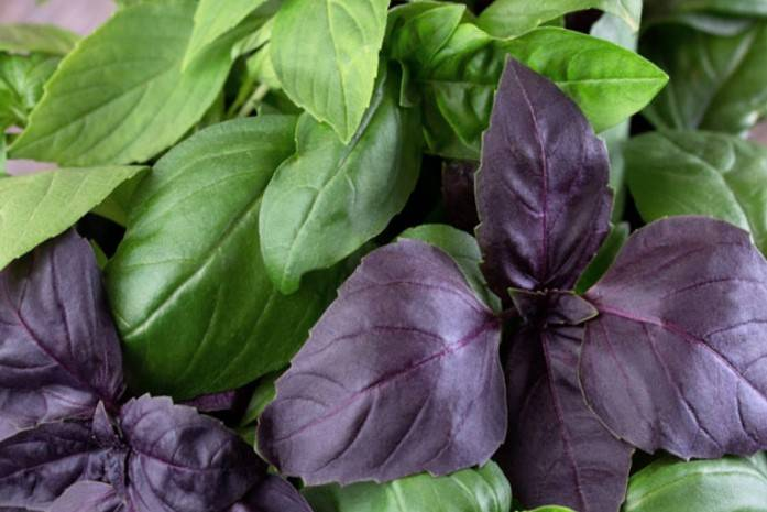 ᐉ какой базилик полезнее - зеленый или фиолетовый (красный), чем они отличаются: все о разнице между этими видами, а также можно ли совмещать их в блюдах? - orensad198.ru