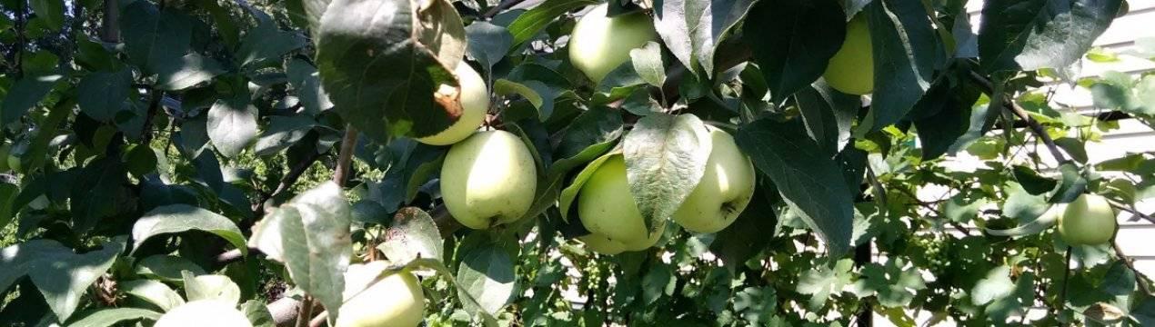 Описание сорта яблони аркад розовый: фото яблок, важные характеристики, урожайность с дерева