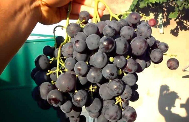 Виноград рошфор: один из 40 лучших сортов, выведенных любителем
