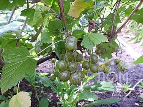 Описание сортов зеленоплодной смородины, особенности посадки и ухода