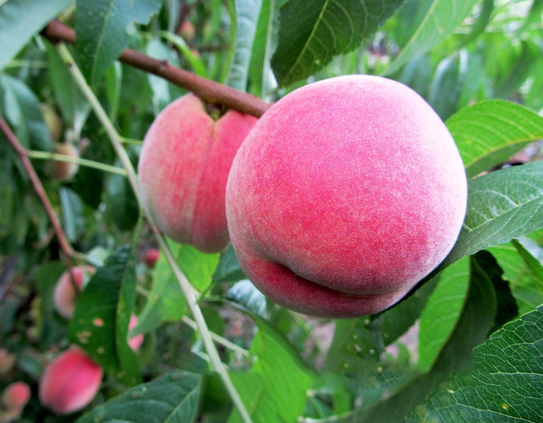 Персик киевский ранний: описание сорта, фото, отзывы