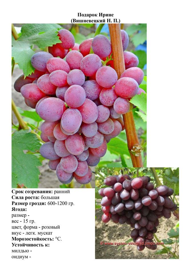 ✅ сорт винограда подарок ирине отзывы - питомник46.рф