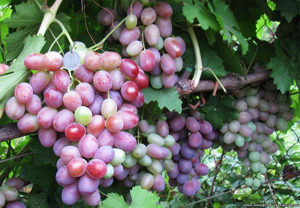 Виноград сорта преображение: подробное описание, фото и отзывы