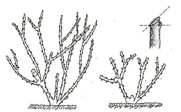 Обрезка крыжовника — схемы и простая инструкция для новичков. советы опытных огородников и технология обрезки весной, осенью и летом (145 фото + видео)