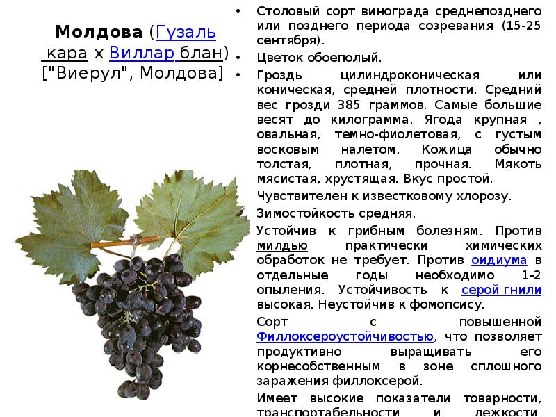 "Виноград ""ливия"": описание сорта, фото, посадка и уход"
