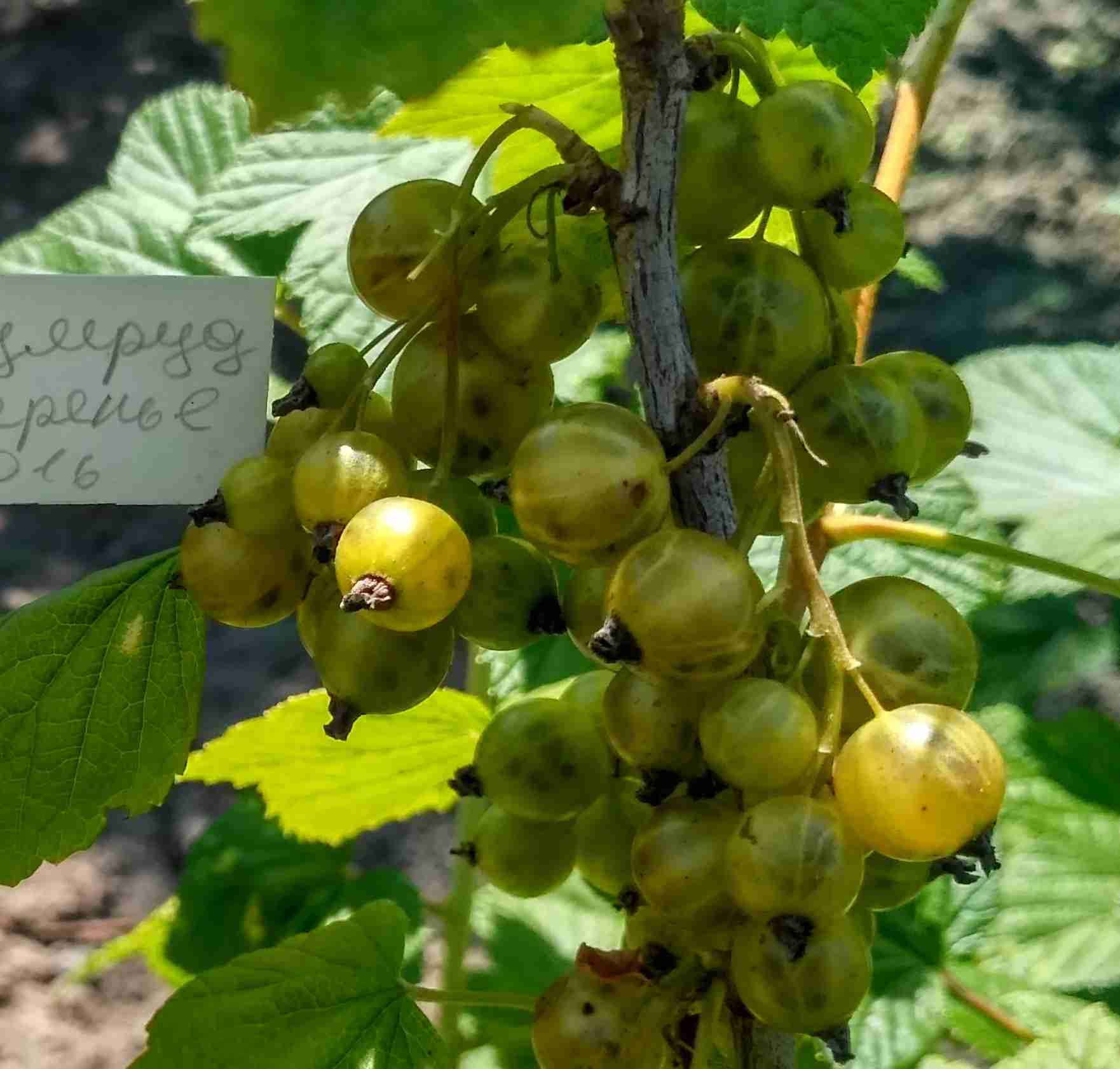 Смородина зеленая: описание сортов и характеристики, выращивание и уход с фото
