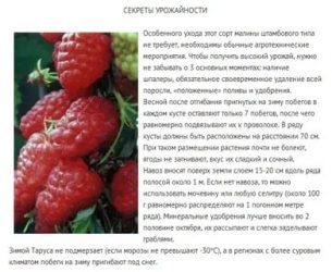 Описание и характеристики малины сорта Таруса, посадка и уход