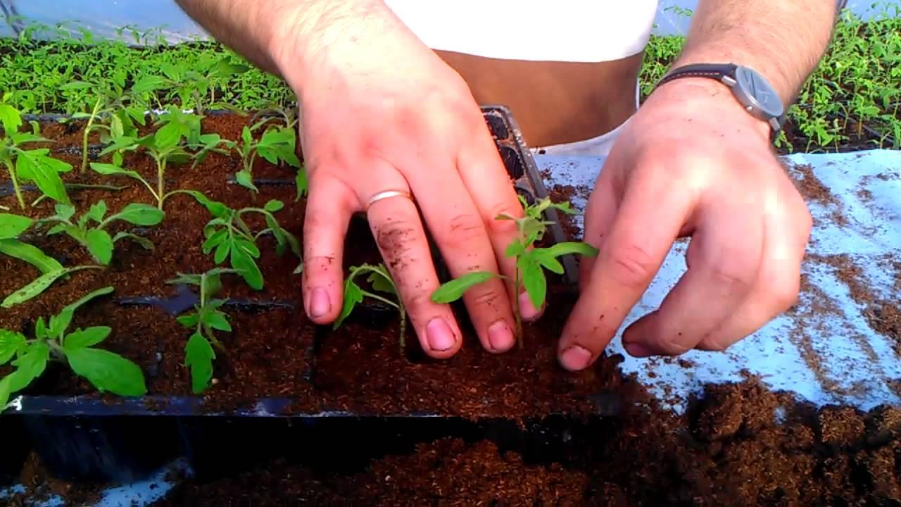 Ганичкина про помидоры: пасынкование, формирование куста