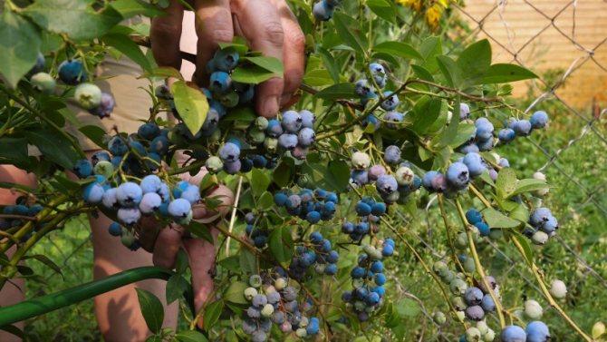 Как правильно выращивать голубику садовую: посадка и уход, пошаговая инструкция