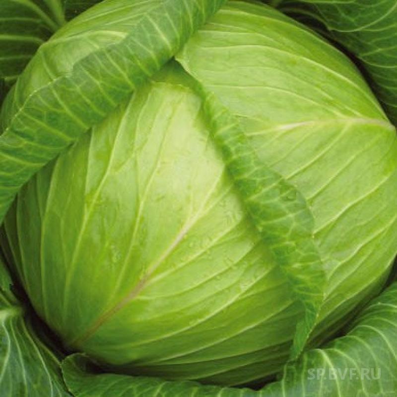 Обзор характеристик и описание сорта капусты надежда, выращивание и уход
