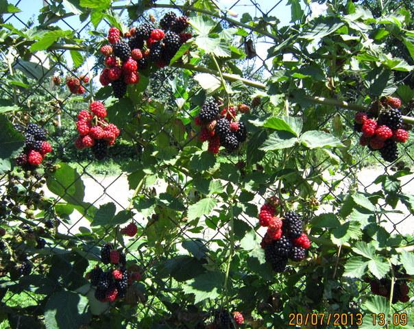 Описание сорта ежевики торнфри: посадка, уход и обрезка ягоды, описание с фото и видео