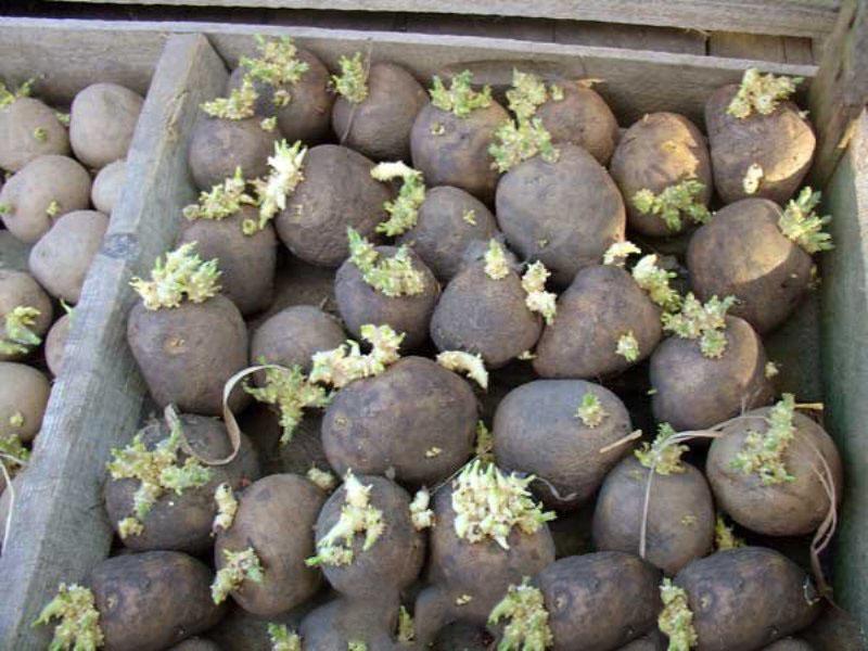 Проращивание картофеля перед посадкой: сроки и правильные способы, видео