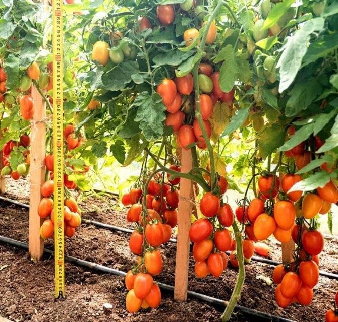 Ранние сорта томатов: махитос и аттия f1, государь и другие; их описание и достоинства
