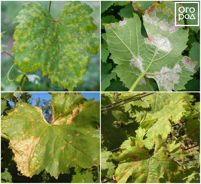 Причины и вред от хлороза винограда, чем лечить и как обработать