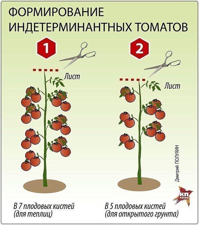 Что собой представляет индетерминантный сорт помидор и как его выращивать