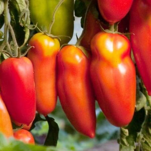 Описание сорта томата алый мустанг — как поднять урожайность