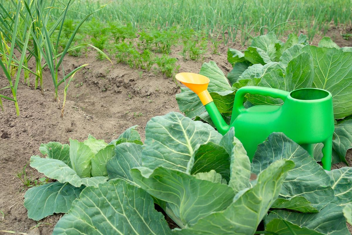 Правильный полив капусты: сколько и как часто поливать в жару и в нормальную погоду