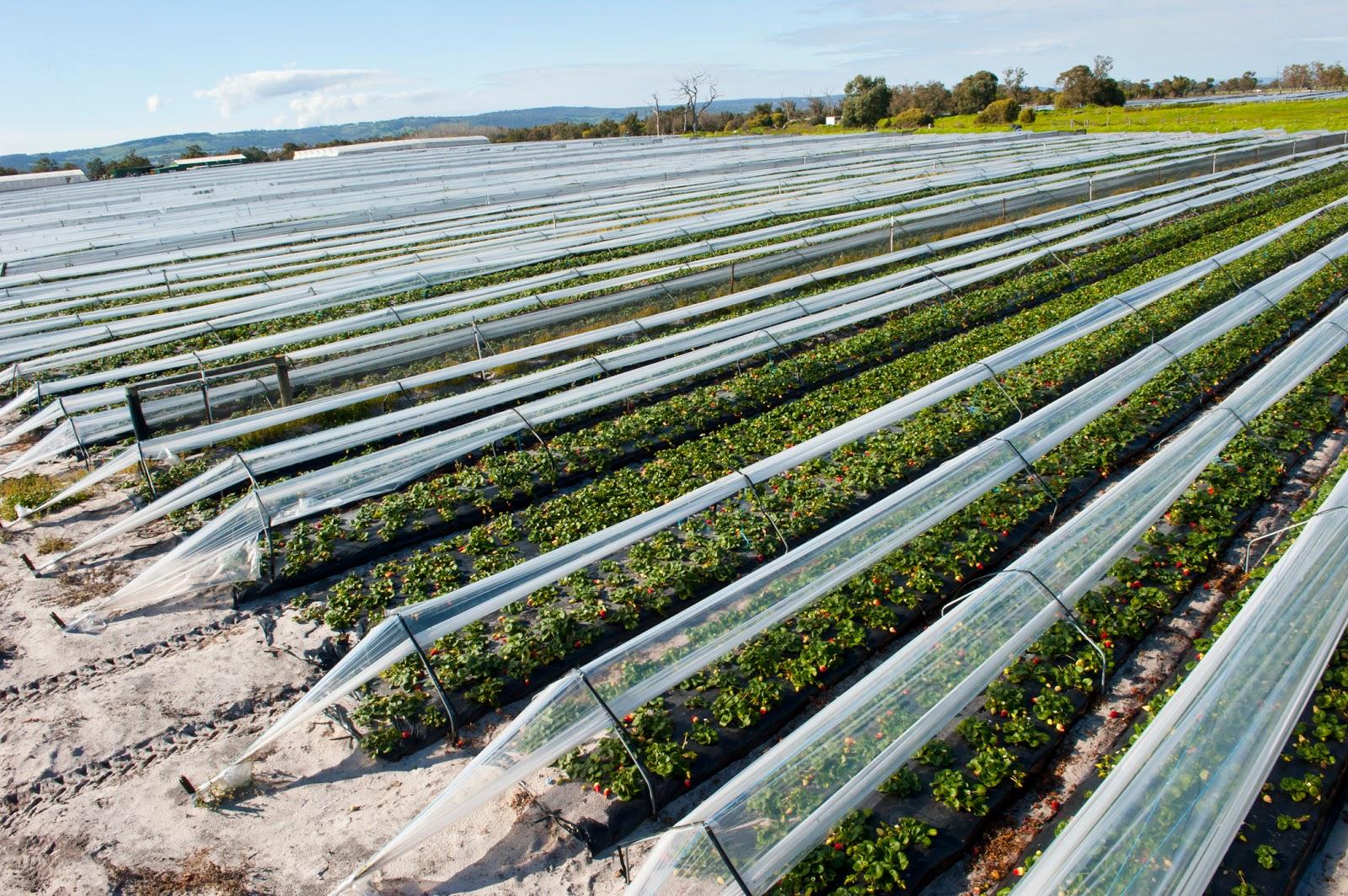 Правила посадки и выращивания лучших сортов клубники для сибири