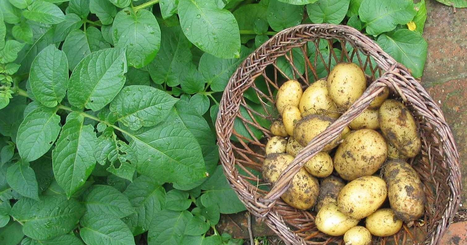 Картофель раннее утро — описание сорта, фото, отзывы, посадка и уход