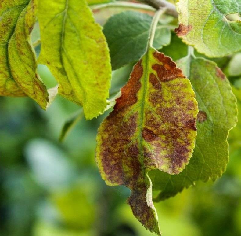 19 болезней яблонь и их лечение — болезни коры, заболевание листьев, чем обработать и как бороться