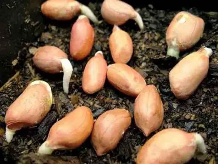 Диво-арахис на вашем огороде, или ничего невозможного нет