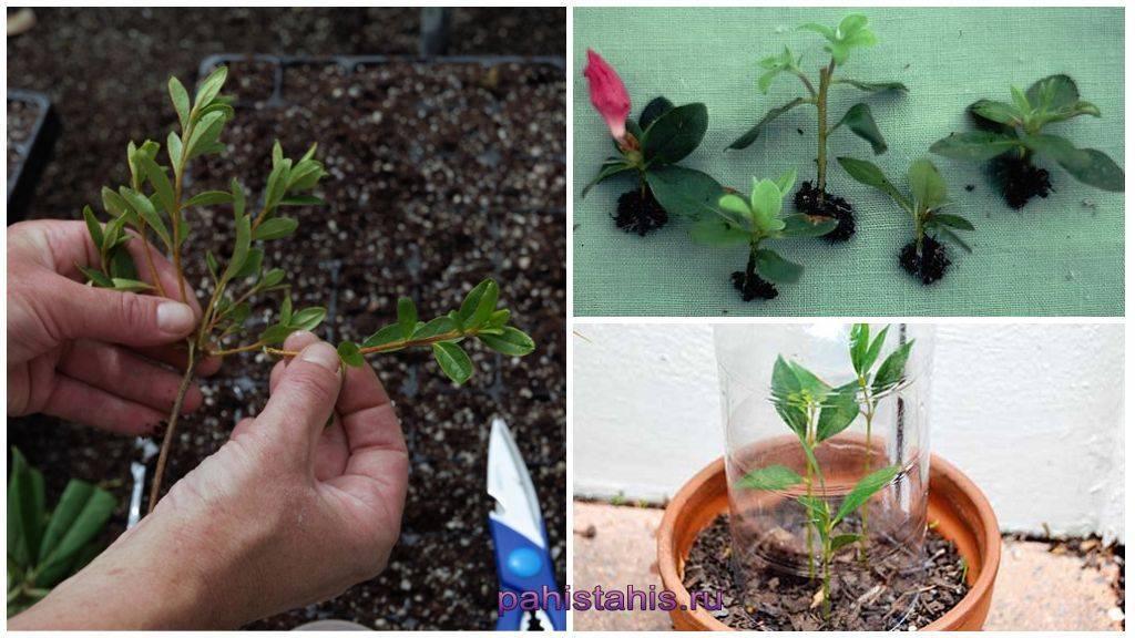 Как правильно размножать мяту семенами и корневыми отводками
