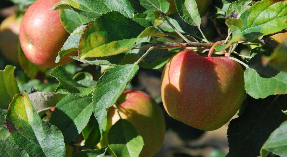 Описание сорта яблоня строевское