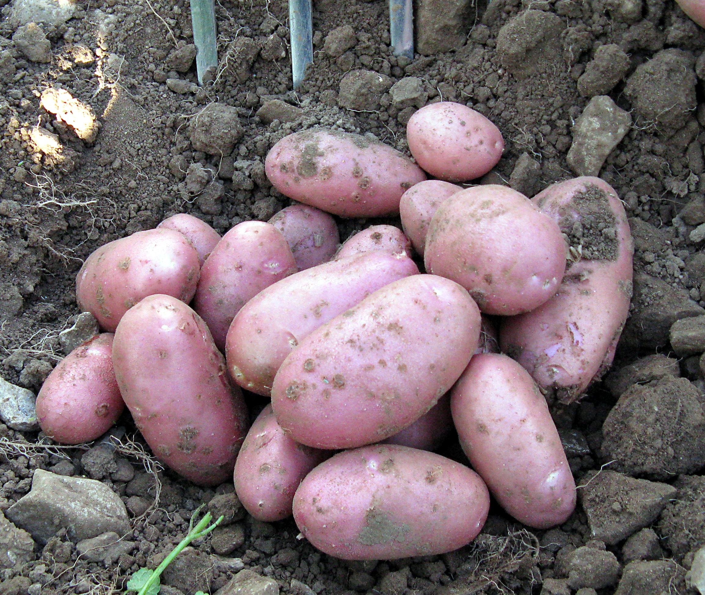Сорт картофеля елизавета: характеристика, описание и фото картошки, а также выращивание и уход