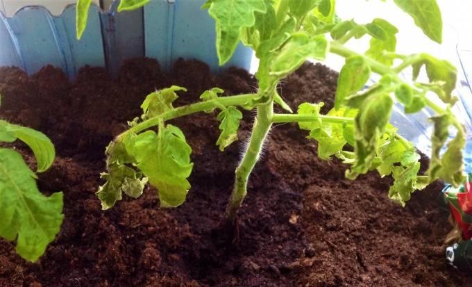 У рассады помидор покрутились листья, что делать?