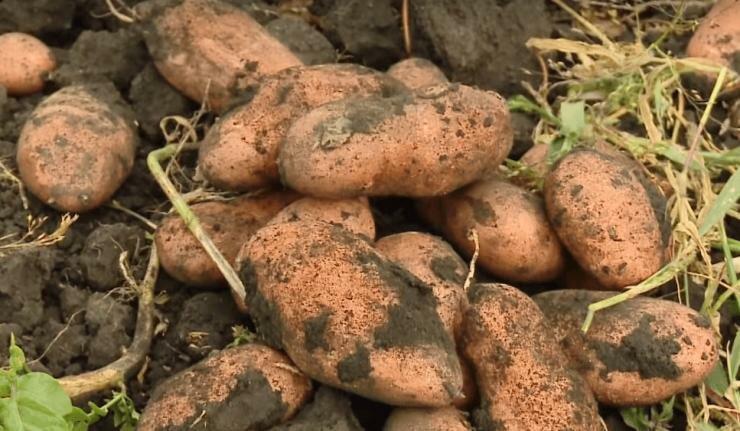 Описание сорта картофеля утро раннее, особенности посадки и ухода