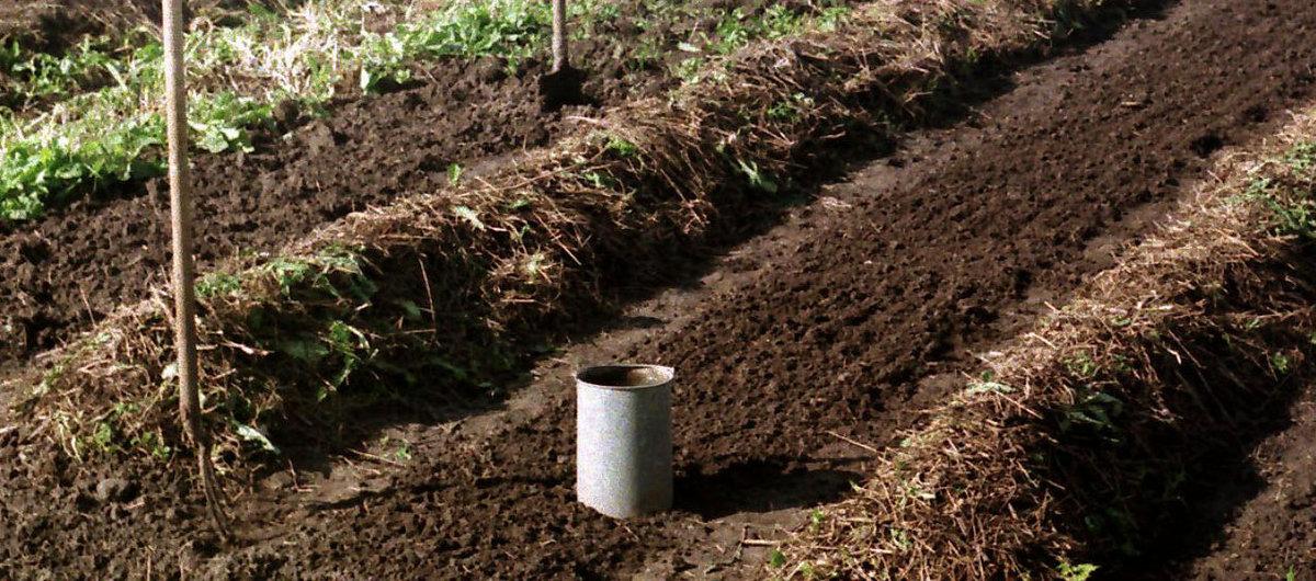 Как посадить топинамбур весной: где и по какой схеме выращивать земляную грушу в открытом грунте на даче, а также правильная глубина заделки ее клубней и семян, уход русский фермер