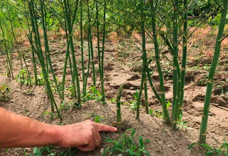 Выращивание спаржи из семян на огороде и в домашних условиях, уход за ней