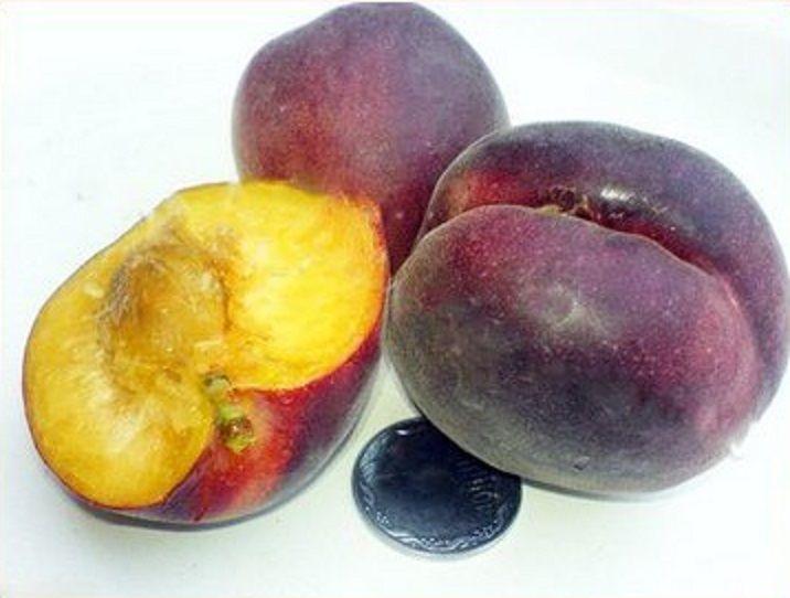 Что нужно знать об абрикосе черный принц? характеристики сорта и особенности ухода