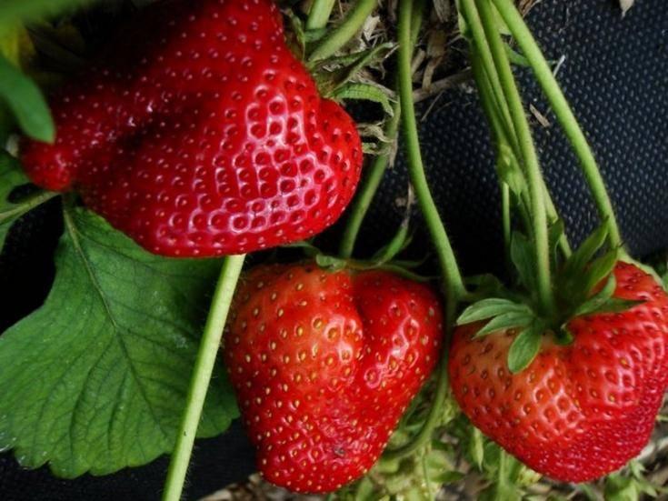 Клубника «пандора»: описание сорта, агротехника выращивания, ухода и посадки ягоды в открытом грунте (фото)