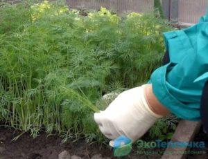 Как вырастить укроп в теплице зимой? особенности выращивания петрушки в аналогичных условиях: сколько растет и какая урожайность? русский фермер