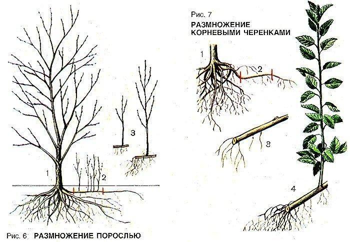 Описание и характеристики сливы сорта Светлячок, тонкости выращивания