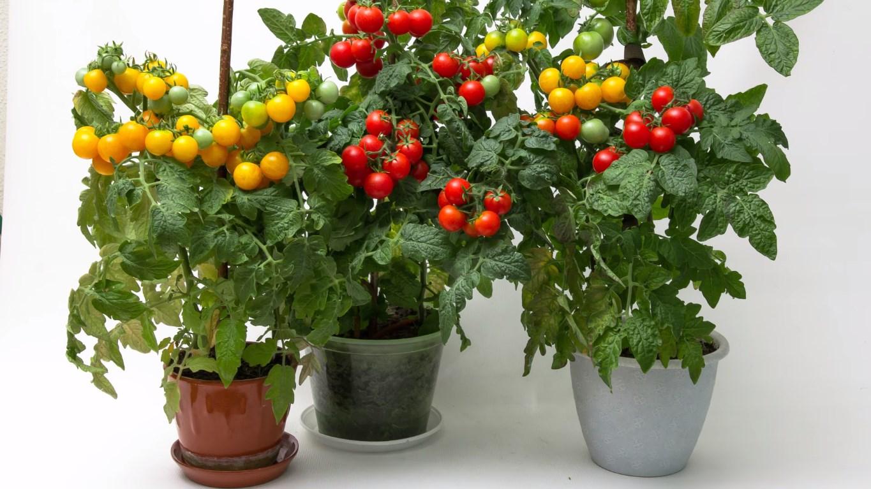 Какие сорта помидоров можно вырастить на подоконнике и на балконе в квартире: какие лучше сажать в домашних условиях на окне, а какие нет, а также фото томатов русский фермер