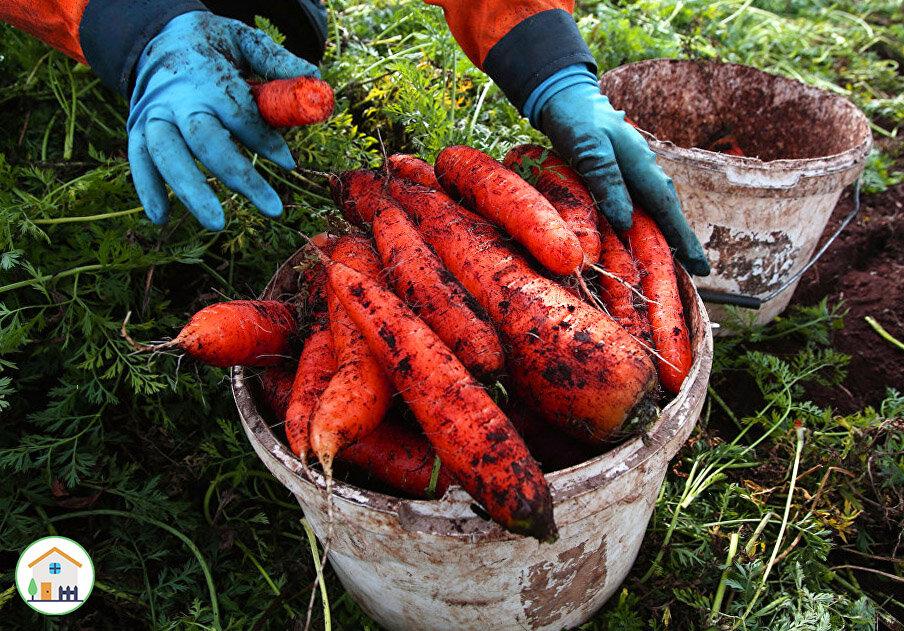 Когда убирать морковь с грядки на хранение в сибири