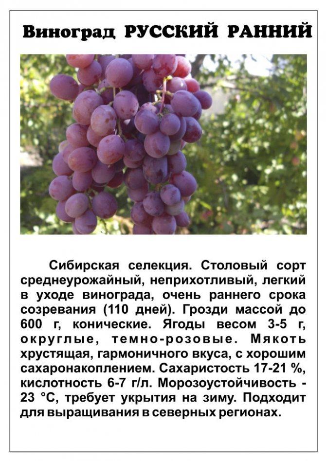 Виноград красотка: эффектный сорт, полностью соответствующий названию