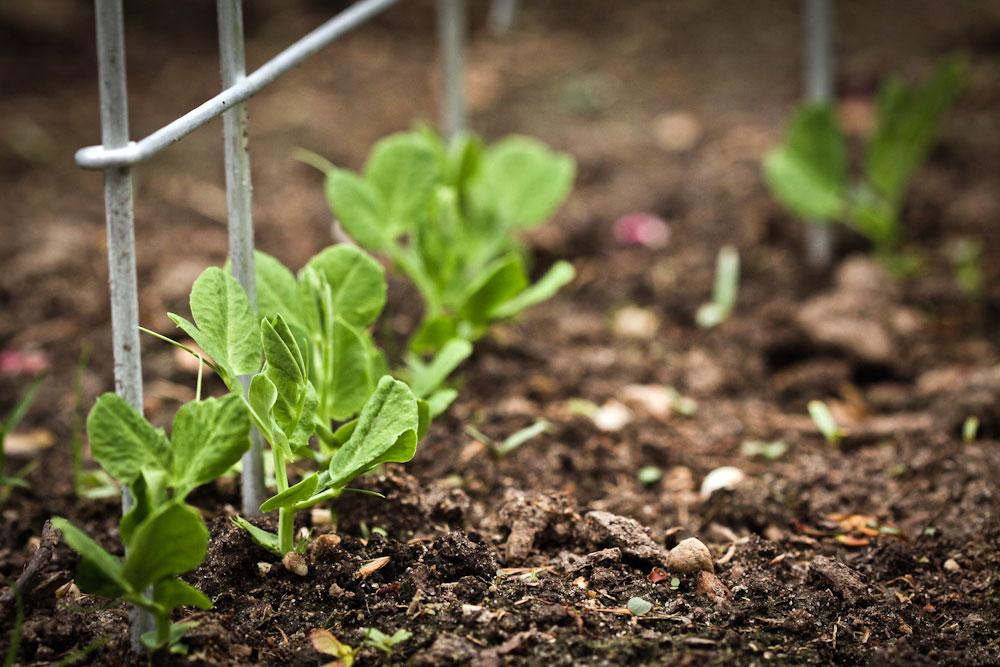 Горох: посадка и уход в открытом грунте, выращивание из семян, уборка, хранение, фото